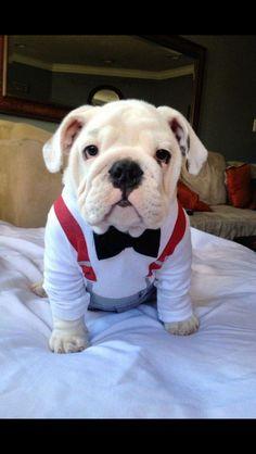 Mr Bull dog