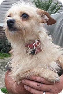 Ringoes, NJ - Cairn Terrier Mix. Meet Winnie, a dog for adoption. http://www.adoptapet.com/pet/12600500-ringoes-new-jersey-cairn-terrier-mix