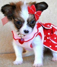 This puppy is so cute I love the dress <3   www.cutepapillonpuppies.com