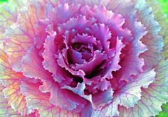 Ornamental cabbage Ornamental Cabbage, Cabbage Roses, Cabbages, Shade Plants, Kale, Sketching, Garden Design, Nature Photography, Mixed Media
