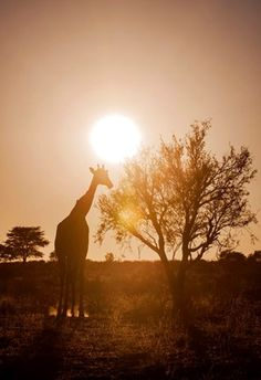 Giraffe (Giraffa camelopardalis) in backlight, Kgalagadi Transfrontier Park, Northern Cape Province, South Africa, Africa