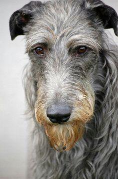 Deerhound <3 also love Irish Wolfhounds. Wonderful dogs!