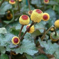 Toothache Plant Flower Seeds (Spilanthes Oleracea) 200+Seeds - Under The Sun Seeds  - 1