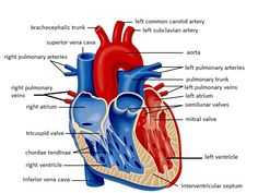 External anatomy of heart cardiac pinterest heart anatomy heart labeling diagram new page 1 jb004k12 ccuart Gallery