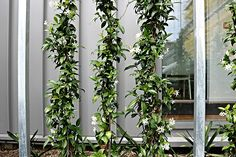Our Chinese Star Jasmines are 1m tall, 3-4 years old and ready to espalier, saving years of waiting!