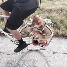 Si yo fuera una cachorro,esre seria mi pasatiempo favorito#12# #shibainupuppy