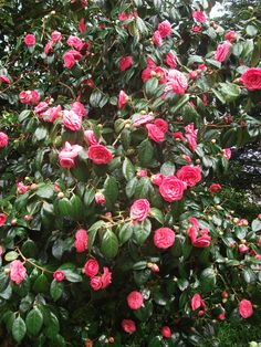 camellia japonica trees - Google Search