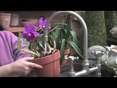 A good video showing you if you under or over water your orchids