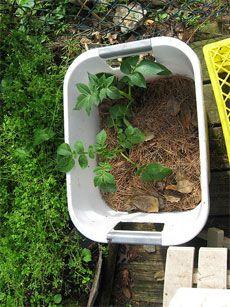 Growing potatoes in a container 'garden'- you can even use a 5 gallon bucket!