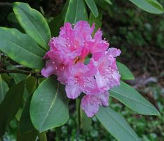 Rhododendron  macrophyllum—California rose-bay. Regional Parks Botanic Garden Photo of the Day. 13 April 2016