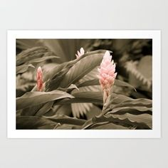 Ginger Plant in Black, White, Pink - Exotic, Tropical Laptop & iPad Skin by erinmorris Costa Rica, Ginger Plant, Tropical Art, Black White Pink, Green Garden, Lush Green, Home Art, Plant Leaves, Exotic