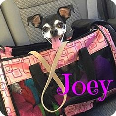 Scottsdale, AZ - Terrier (Unknown Type, Small) Mix. Meet Joey, a dog for…