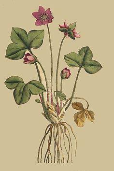 10. Anemone Hepatica. Hepatica, or Noble Liverwort.