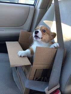 ventusthecorgi:  Stop. Stop! STOP!! You're about to pass the treat store!!