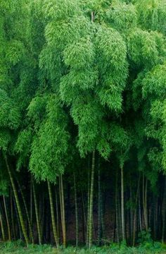 Bamboo forest in Kyoto, Japan (photo: Weijie~) Bamboo Forest Japan, Mother Earth, Mother Nature, Bamboo Landscape, Dame Nature, Foto Transfer, Japanese Bamboo, Forest Bathing, Green Garden