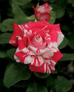 Neil Diamond: Hybrid Tea Rose