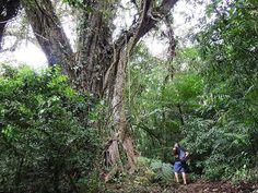Le voyageur se sent tout petit devant les grands arbres de la Selva Negra (la forêt noire) dans les environs de Matagalpa au Nicaragua. Photo prise par Malou382 lors de son voyage en janvier dernier. #leroutard #routard #nicaragua #selvanegra #foret #arbre #nature Hotels-live.com via https://www.instagram.com/p/BD8mnDhHd7K/ #Flickr