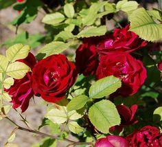 Rose Hope for Humanity Red Roses, Garden, Flowers, Plants, Garten, Lawn And Garden, Gardens, Plant, Gardening