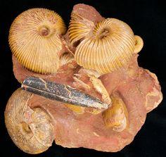 https://www.fossilera.com/p/405/Ammonite-Fossils.jpg