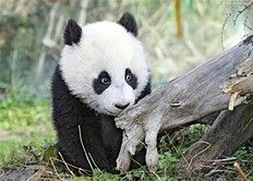 This photo provided by the Schoenbrunn Zoo shows seven month old panda cub Fu Hu exploring the outdoors for the first time in Vienna, Austria. , on Thursday, March 24, 2011. Fu Hu, who was born on Aug. 23, is a sensation because he was conceived naturally. He follows in the footsteps of his older brother, Fu Long, who charmed Austrians before leaving for China in 2009.