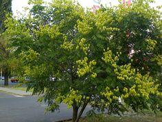 Koelreuteria paniculata, golden rain tree