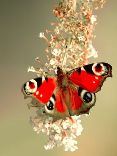 Peacock Butterfly God must like red and black together as well