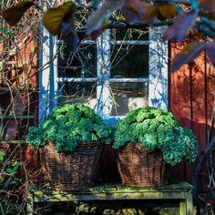 """858 To se mi líbí, 14 komentářů – Trip2garden (@trip2garden) na Instagramu: """"Förra året blev det grönkål i korgarna! Får se vad vi ska hitta på i år? 🌳🌳 Jul på Håkesgård 19-20…"""""""