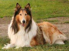 lassie   LASSIE : LOVE IS IN THE AIR !