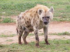 Hyena Sanctuaries in Chhattisgarh, India @ Sanctuariesindia.com