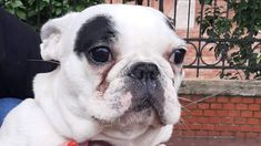 Adopt a bulldog! English Bulldogs, French Bulldog, Boston Terrier, Adoption, Animals, Instagram, Foster Care Adoption, Boston Terriers, Animales