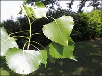 ISU Forestry Extension - Tree Identification:  Eastern Cottonwood (Populus deltoides)