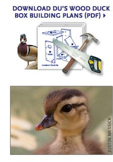 How to build, maintain and place wood duck boxes