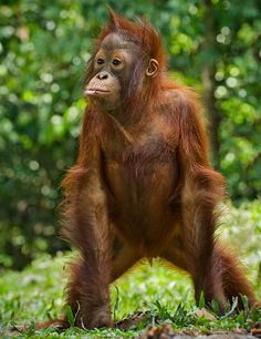 orangutang illustration - Google Search