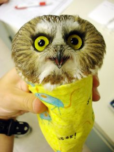 A Saw-Whet Owl is wrapped up while it is weighed at the University of Minnesota's Raptor Centre