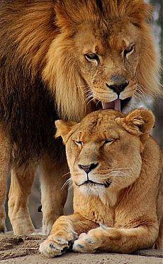 A Lions Love   Big cats