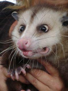 Cross Eyed Possum