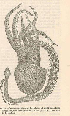 En los pulpos del género Tremoctopus, la hembra mide en torno a dos metros, y el macho sólo unos pocos centímetros. Para la fertilización, el macho se desprende de uno de sus brazos, llamado hectocotylus, que contiene la esperma y que se arrastra hasta el aparato reproductivo de la hembra. El macho muere, y la hembra carga los más de 100.000 huevo fertilizados en una secreción calcárea con forma de salchicha hasta que nacen.