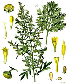 botanical prints artemisa - Buscar con Google