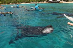 A whale shark, known locally as butanding, surfaces to feed in Oslob, Cebu. Tourists are expected to flock to Oslob during the Lenten break to see this attraction, although some conservationists believe that the practice of feeding by people disrupts whale sharks' natural behavior.