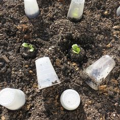 Using Plastic Cups Three Ways in Your Vegetable Garden: Frost is One, Early Crops Two, Critter Protection Three - VIDEO TOO.