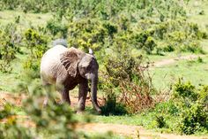 Baby Elephant running between the bushes Baby Elephant running between the bushes in the field.
