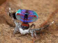 The Maratus Volans is without a doubt the most beautiful spider in the world. Also known as The Peacock Spider, this vibrant arachnid flaunts its flashy colors Unusual Animals, Cute Animals, Mama Tattoos, Spider Pictures, Tattoo Symbole, Bed Bug Bites, Cool Bugs, Wicked, Jumping Spider