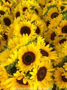 girasoli gialli