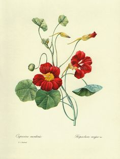 Antique Flower print Red Capucine Mordoree bookplate, vintage botanical flowers bookplate art print, red flowers wall print wall art. $12,00, via Etsy.
