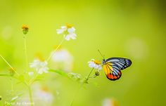 Butterfly by kkchanon. @go4fotos
