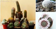 Ventajas de coleccionar estas cucaditas en forma de cactus Cactus Planta, Growing Up, Shapes, Plants