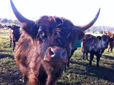 Steer at Essex Farm (Credit: Kristin Kimball)