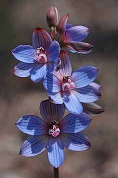 Resultado de imagem para ixia maculata validator