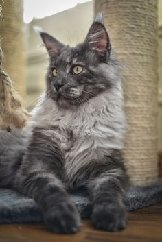 Jagger - 5 mois - Maine Coon black smoke http://www.mainecoonguide.com/health/