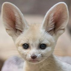 Fennec Fox Pet, Cute Baby Animals, Funny Animals, Fox Pups, Panda Bebe, Foxes Photography, Photography Tips, Cute Fox, African Animals